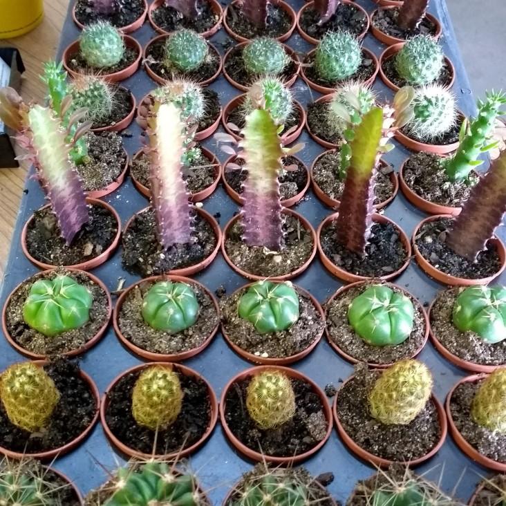 "2"" Cactus Asst."