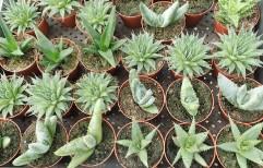 """3"""" Asst Aloes"""