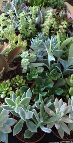 "3"" Succulents Asst."