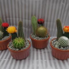 "4"" Cactus Gardens"