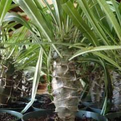 "4"" Madagascar Palms"