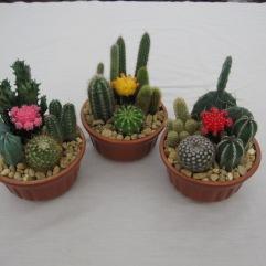 """6"""" Cactus Garden"""