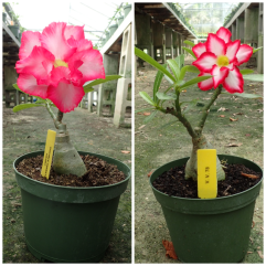 "6"" Grafted Desert Rose"