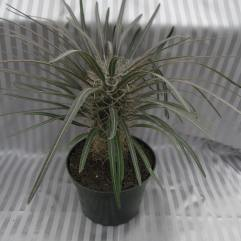"6"" Madagascar Palm"