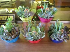 "6"" Succulent Gardens"