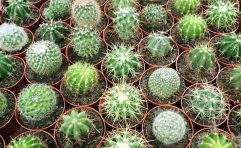 "3"" Cactus Asst."