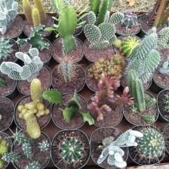 4in Cactus