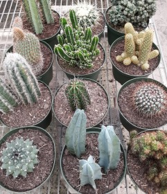 6in Cactus