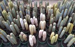 8in Cactus