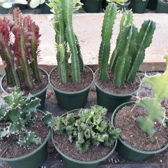 8in Euphorbia