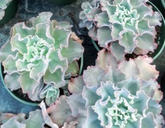 8in Ruffle Echeveria